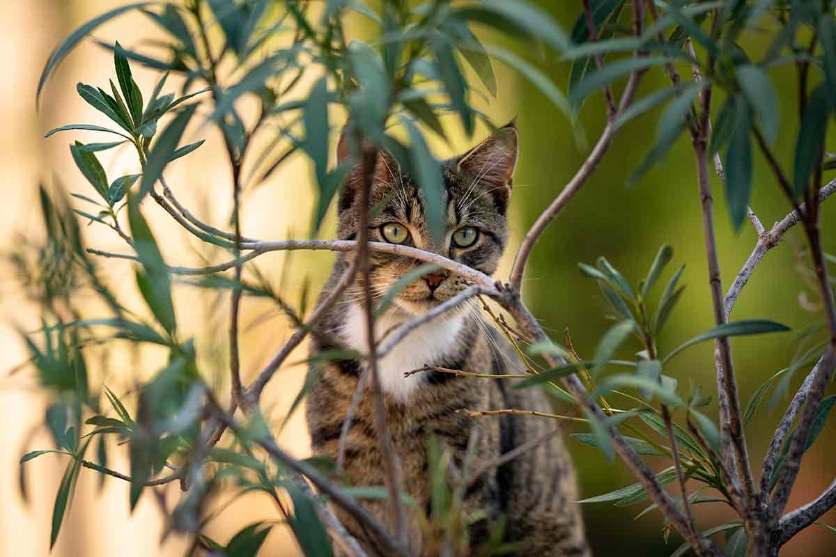 Katze hinter Oleander