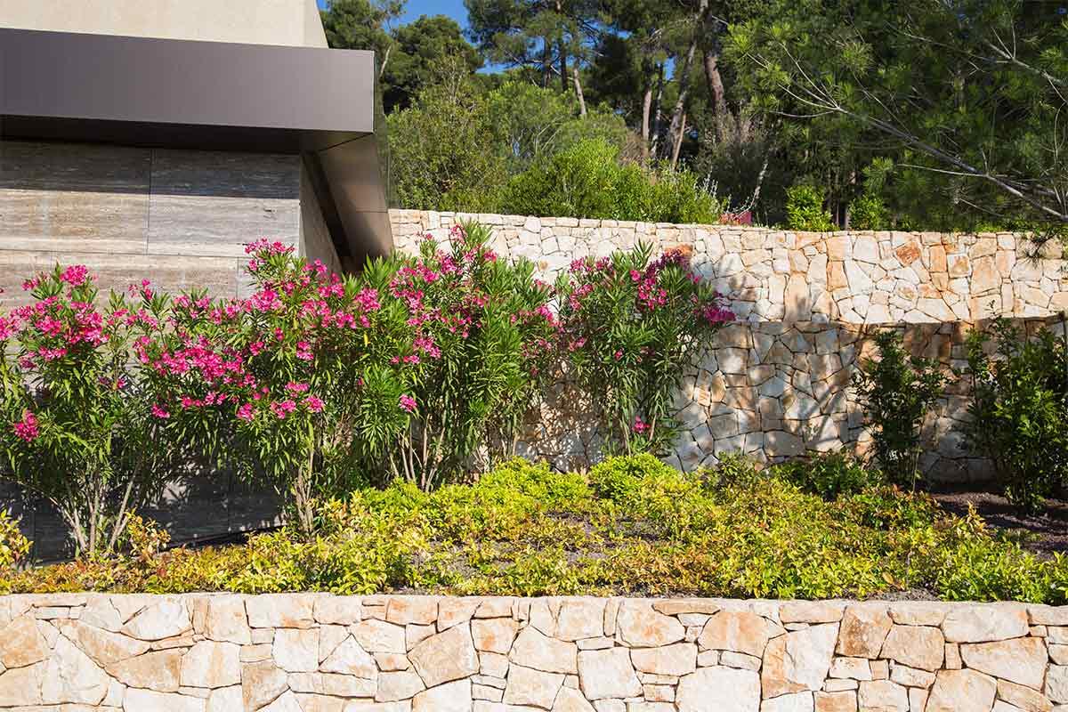 Oleander an einer Mauer
