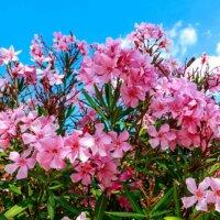 Rosa Oleander-Blüten