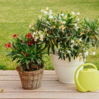 Klein- und zwergwüchsige Oleander-Sorten für wenig Platz