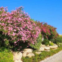 Oleander zieren einen Gartenweg