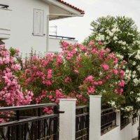 Oleander an einem Gartenzaun