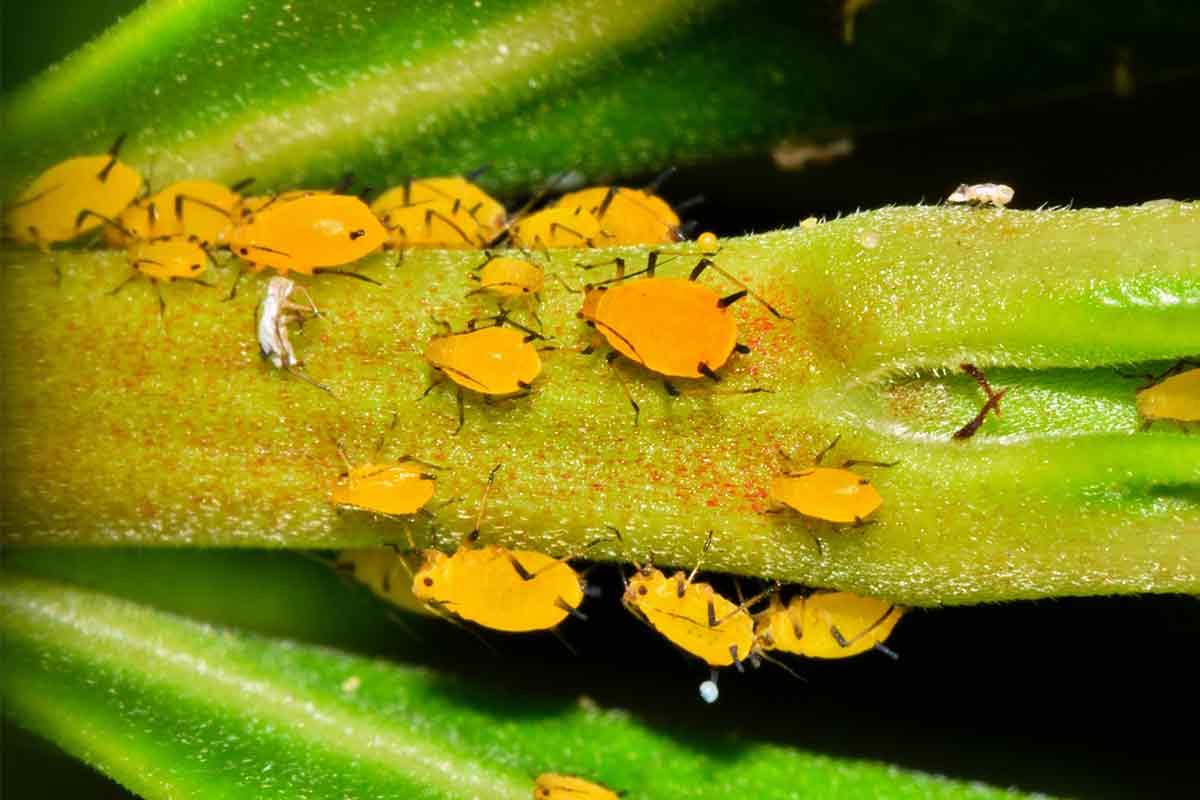 Gelbe Oleanderblattlaus auf Stängel