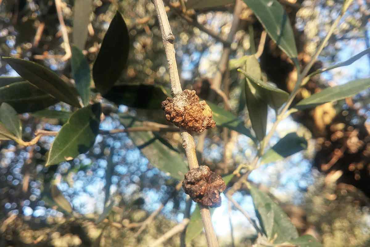 Wucherungen an einem Olivenbaum
