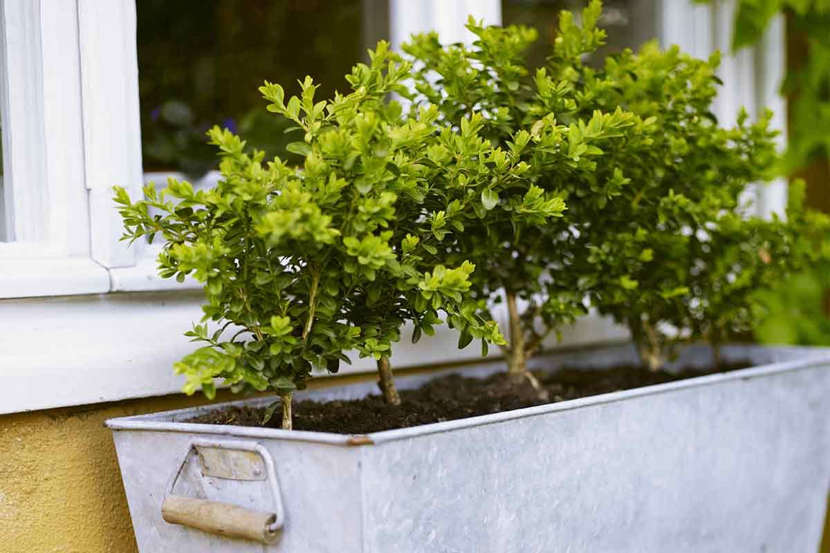 Buchsbaum im Blumenkasten