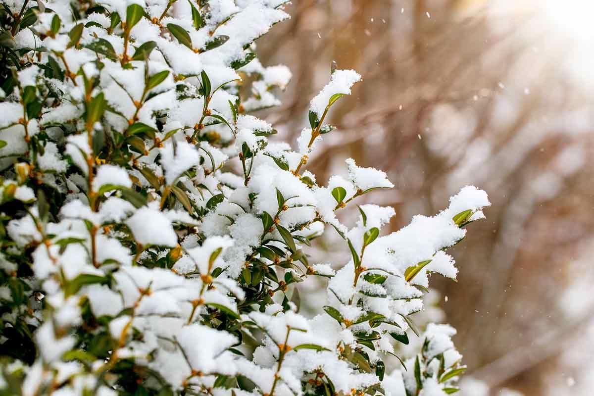 Buchsbaum bedeckt mit Schnee
