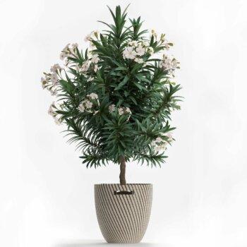 Eine Grafik zu Oleander-Hochstamm kaufen!