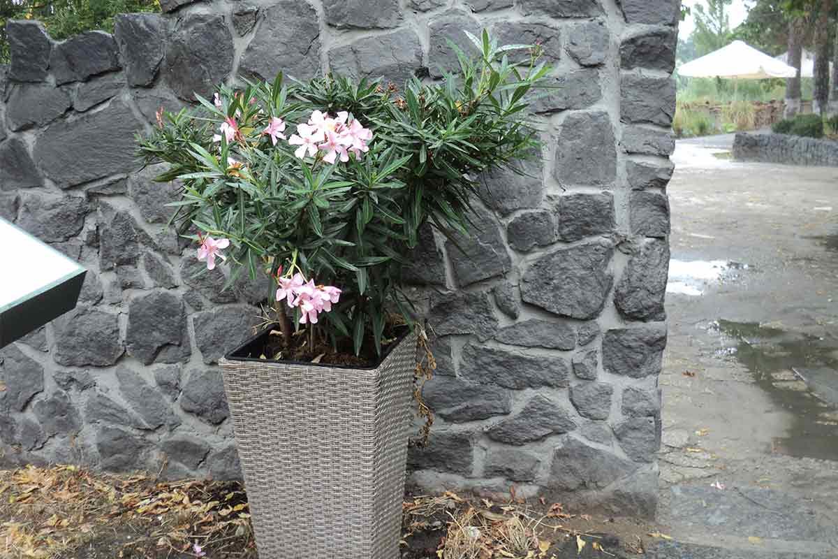 Oleander im Kübel an einer Mauer