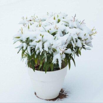 Eine Grafik zu Entdecken Sie winterfesten Oleander!
