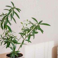 Oleander als Zimmerpflanze