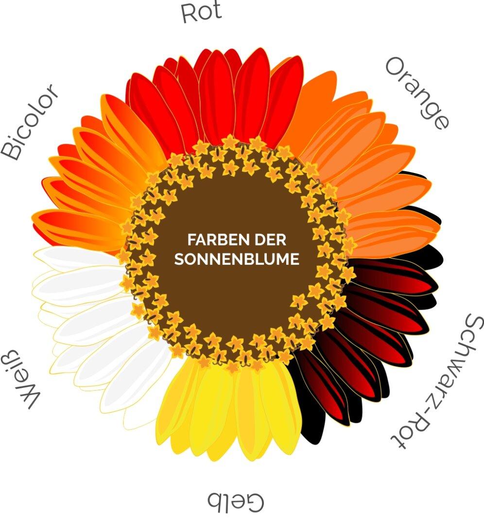 Übersicht über die möglichen Blütenfarben der Sonnenblume