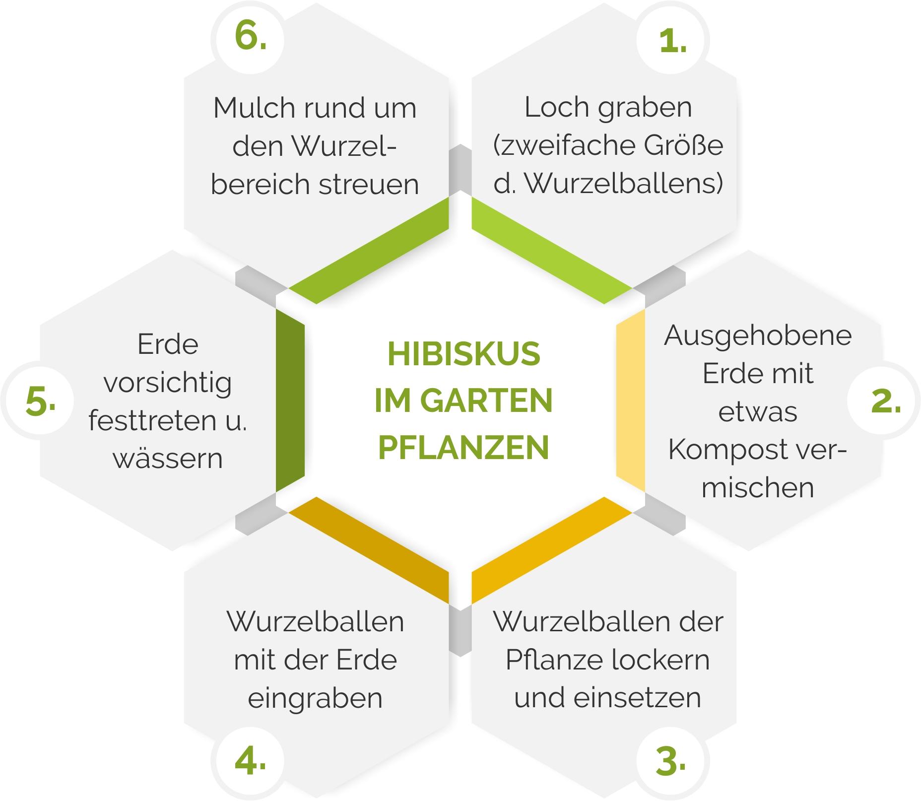Grafik mit Schritten beim Pflanzen von Hibiskus