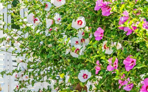 Hibiskus – Schneiden  Verwenden  Überwintern & Pflegen + Sorten-Überblick