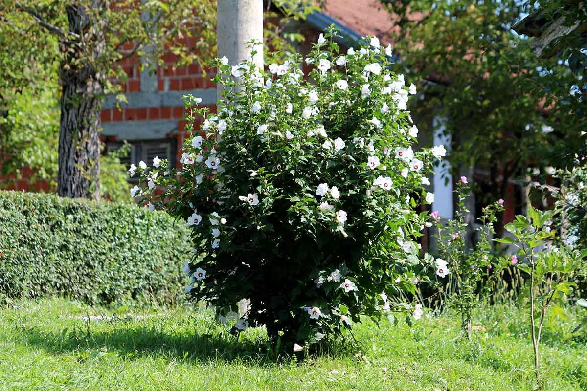 Hibiskus-Strauch mit weißen Blüten