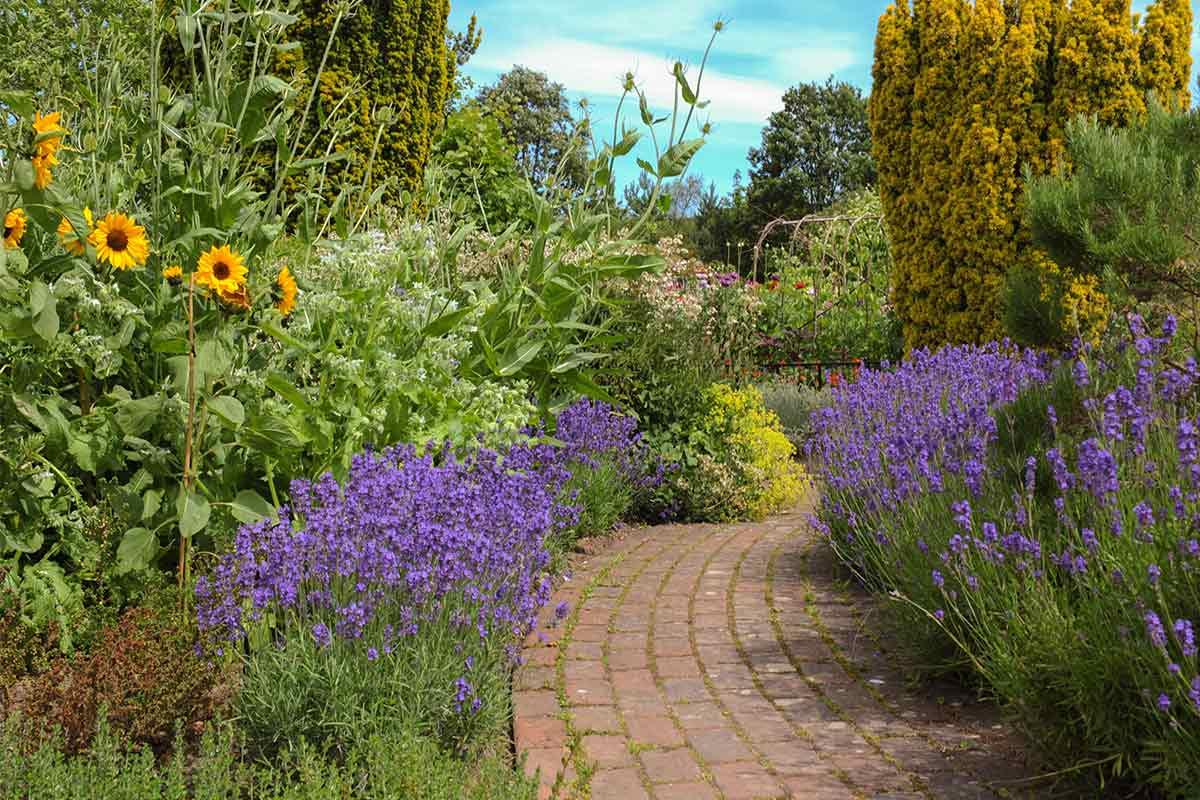 Sonnenblume an einem Gartenweg