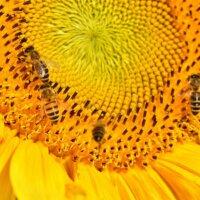 Biene auf Sonnenblumen-Blüte