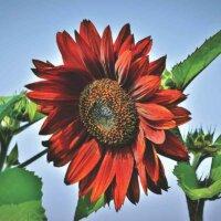 Rote Sonnenblumen-Blüte