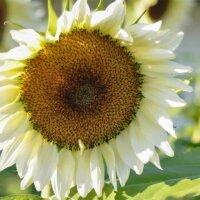 Sonnenblume mit weißer Blüte