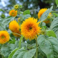 Orange gefüllte Blüten einer Sonnenblume