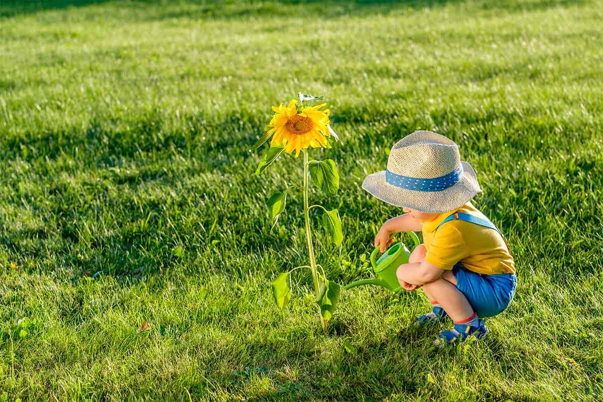 Kleiner Junge gießt Sonnenblume