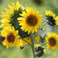 Trieb einer Sonnenblume mit vielen Blüten