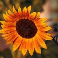 Orangefarbene Sonnenblumen-Blüte