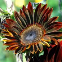 Schwarz-rote Sonnenblume