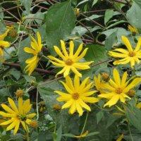 Gelbe Stauden-Sonnenblume