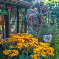 Stauden-Sonnenblume vor einer Veranda