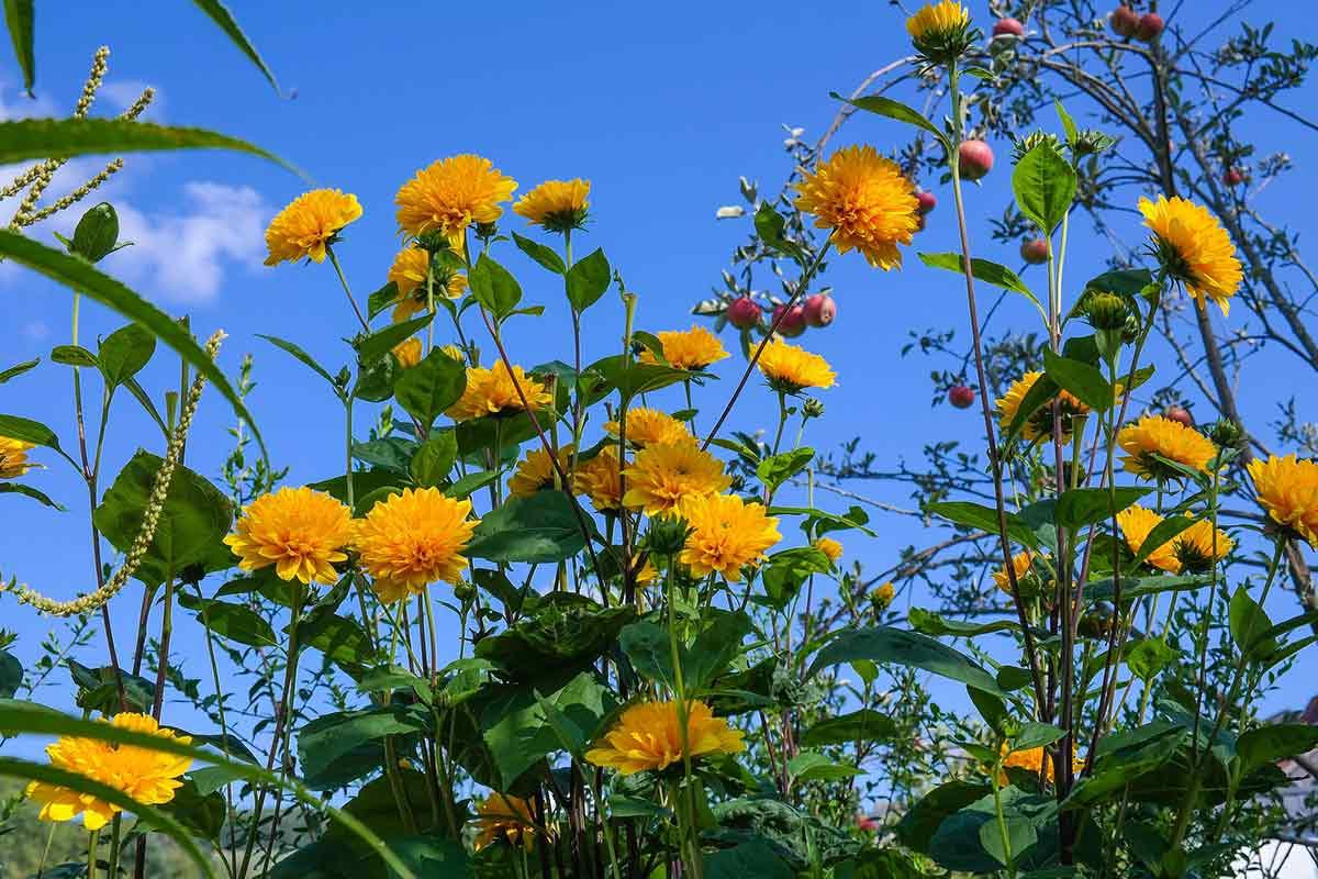 Staudensonnenblume mit orangenen Blüten