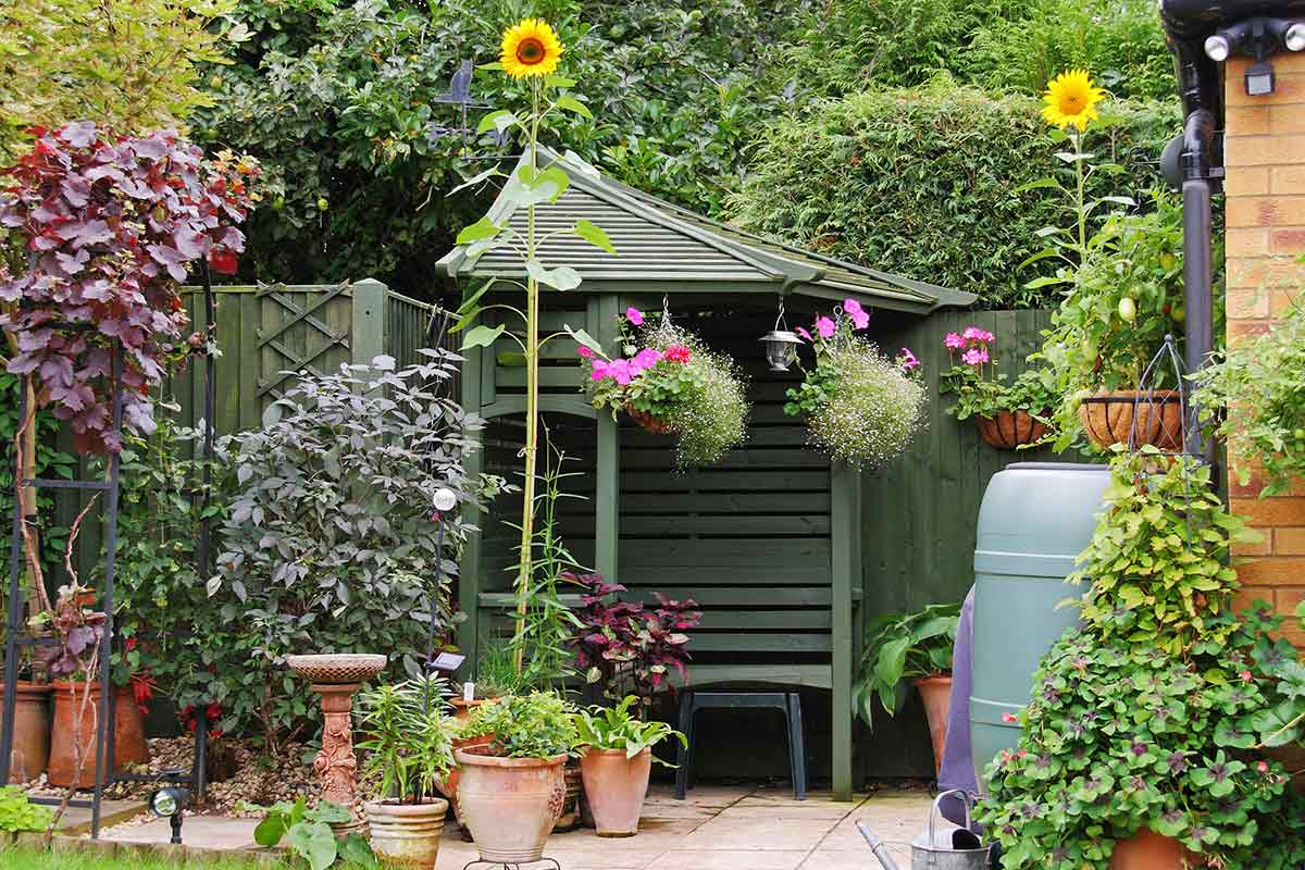 Hohe Sonnenblume im Topf