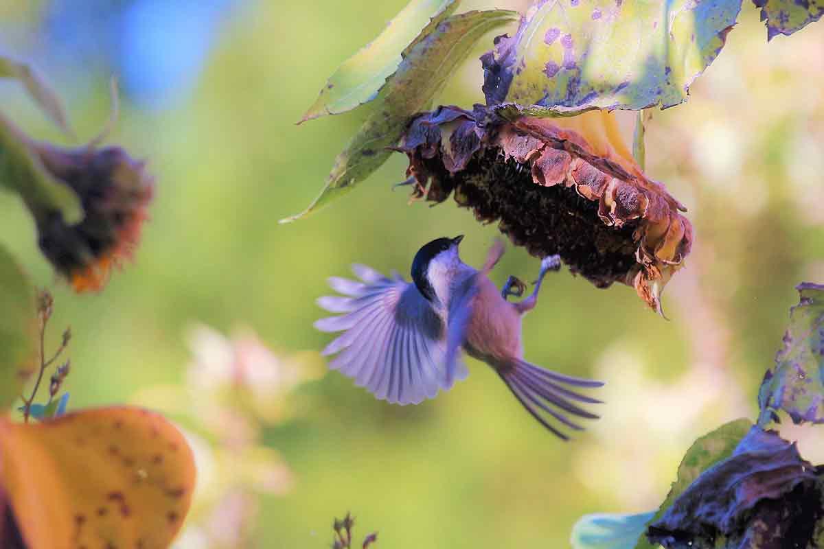 Vogel an einer Sonnenblumen-Blüte