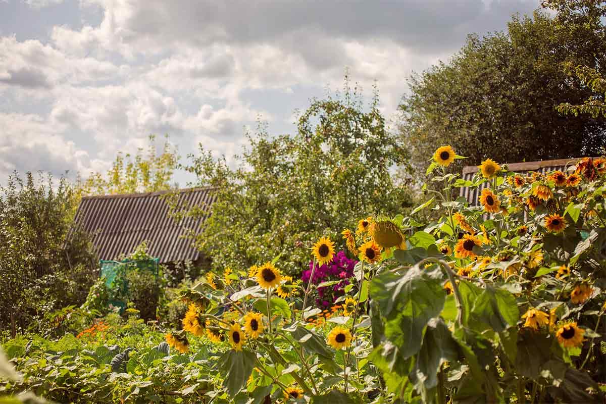 Sonnenblumen in einem Garten