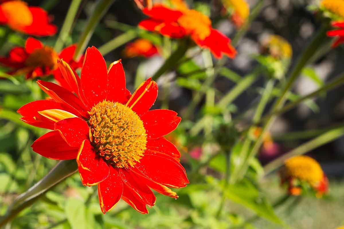 Rote Blüte der Mexikanischen Sonnenblume