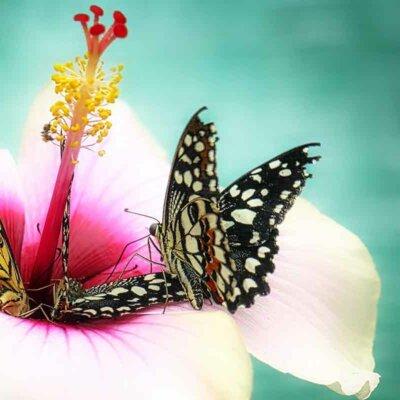 Rosa Hibiskusblüte mit Schmetterlingen