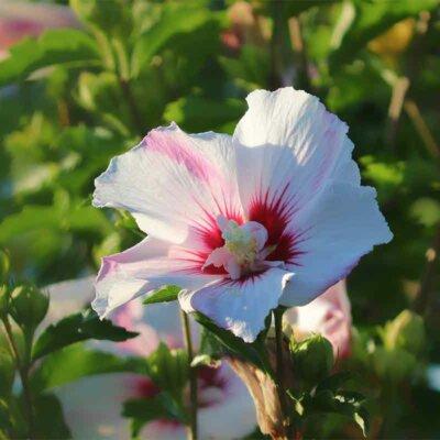 Weiß-pinke Hibiskusblüte