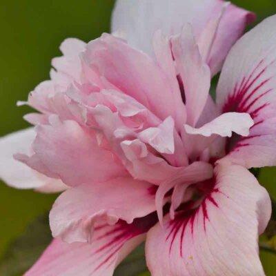 Gefüllte rosa Hibiskusblüte