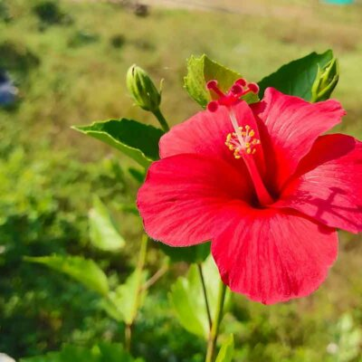 Rote Hibiskusblüte am Trieb