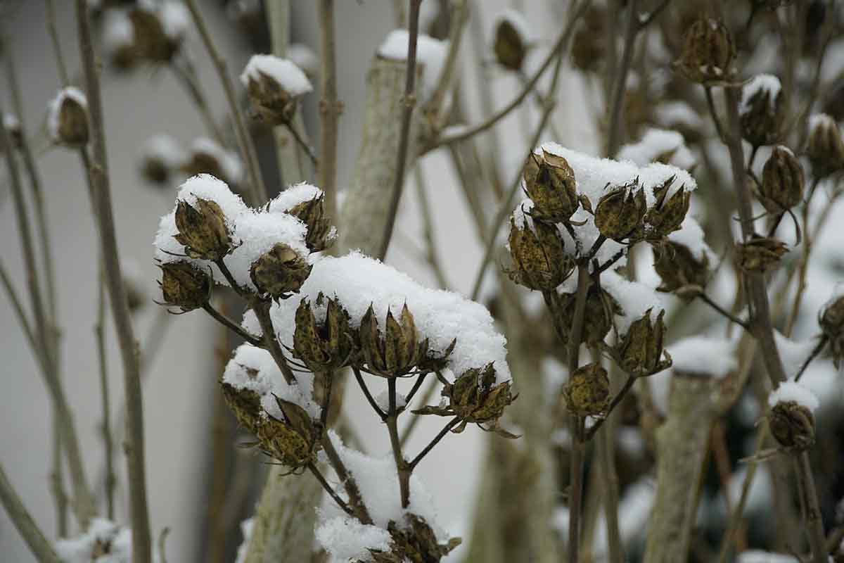 Samenstände von Hibiskus mit Schnee
