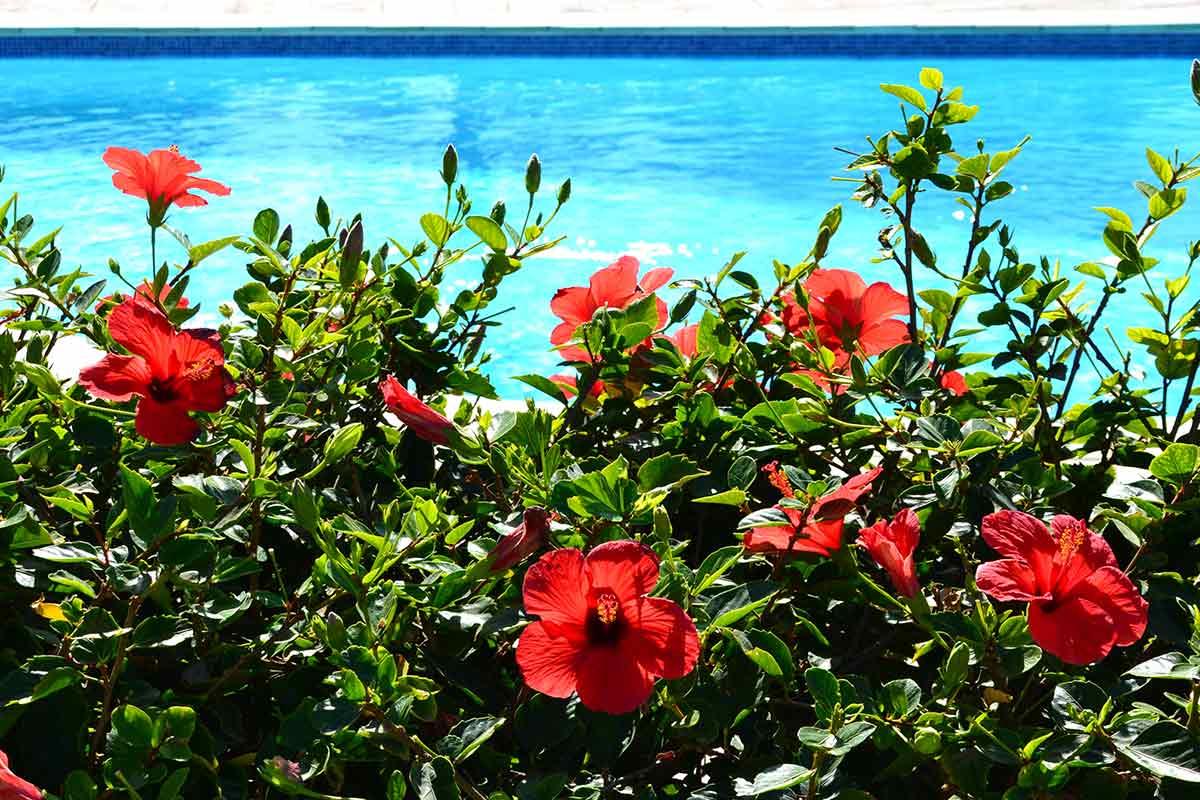 Roter Hibiskus vor einem Pool