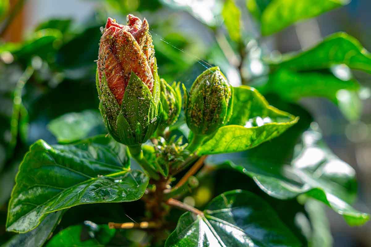 Blattläuse auf Hibiskus
