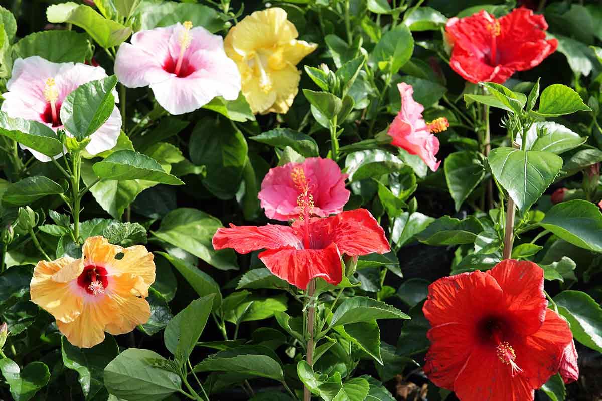 Bunte Hibiskus-Blüten