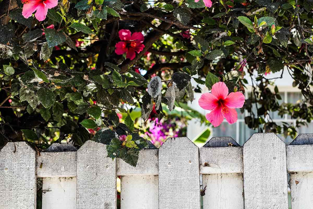 Hibiskus-Strauch hinter Zaun