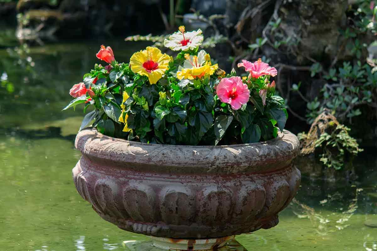 Bunte Hibiskus-Pflanzen in Urne