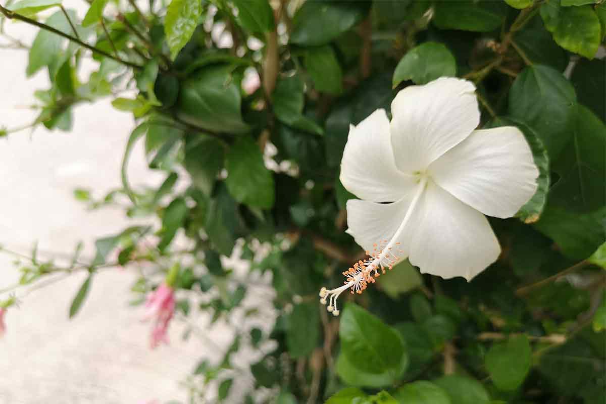 Hibiskus mit weißer Blüte