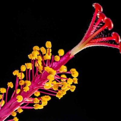 Staubknoten der Hibiskusblüte
