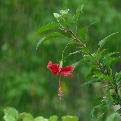 Hibiskusblüte im Regen