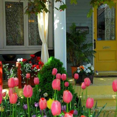 Rosa Tulpen im Vorgarten