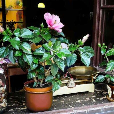 Kleine Hibiskuspflanze auf einer Fensterbank