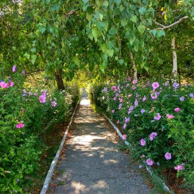 Rosafarbene Hibiskusbüsche säumen einen Weg